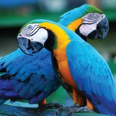 Blue Gold Macaw Parrots in a good mood. Beak a bit open. Bright eyed direct gaze. Happy boy.