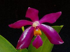 Phalaenopsis pulchra - Orchid Forum by The Orchid Source