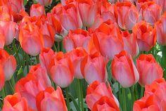 """Il """"Big Chief"""", un tulipano maestoso con una corolla di circa 10 cm di diametro"""