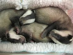 Baby badgers in training