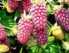 Loganberry, Raspberry and Rhubarb Jam Recipe