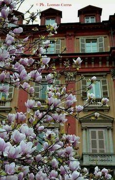 Magnolie in Piazza Statuto
