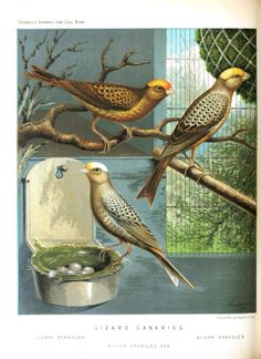 canary birds - Google Search