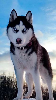Wonderful #Husky