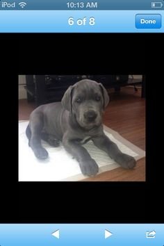 1000 Images About Great Danes On Pinterest Great Danes