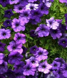 garden flowers names. purple flower names - enlisted with a beautiful photo gallery garden flowers .
