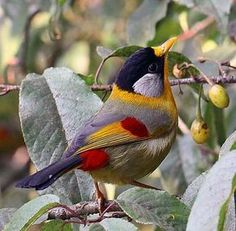 The Silver-eared Mesia (Leiothrix argentauris) is a species of bird from South East Asia.