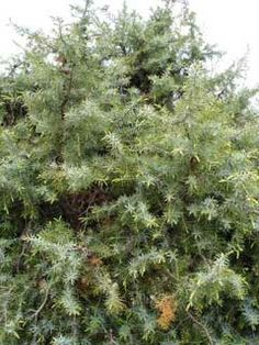 Juniperus oxycedrus Prickly Juniper