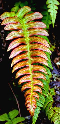 Blechnum NZ Fern - Blechnum novae-zelandiae, commonly known as palm-leaf fern or Kiokio, is a species of fern found in New Zealand.