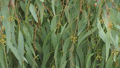 7 Best Essential Oils for bronchitis and Pneumonia that will help you breathe easily Essential Oil For Bronchitis, Eucalyptus Essential Oil, Best Essential Oils, Pnemonia Remedies, Acute Bronchitis, Herbal Plants, Healing Herbs, Herbal Medicine, Herbalism
