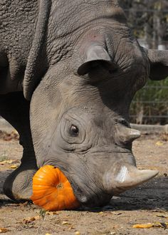A rhino at Brookfield Zoo enjoys some sweet pumpkin enrichment!
