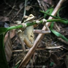 This is not the Kambo frog, but one who visited during a ceremony in Costa Rica.