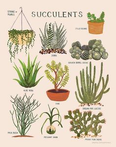 Nature Composting Impression de plantes grasses - ∆ print of various succulent plants ∆ Printed on soft white, cotton paper ∆ Illustrated in gouache by Keiko Brodeur ∆ Printed in the USA Cacti And Succulents, Planting Succulents, Planting Flowers, Types Of Succulents, Echeveria, Golden Barrel Cactus, Plantas Indoor, Cactus Plante, Illustration Botanique