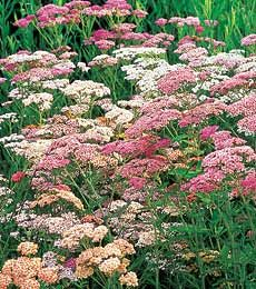 Achillea millefolium Colorado Mixture  Use this page as jumping off point for further research