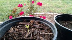 Moringa Olfeifera one of my biggest joy. #gardening #garden #DIY #home #flowers #roses #nature #landscaping #horticulture