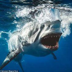 Photo by - greatwhite - whiteshark - shark - requin blanc Shark Diving, Shark Swimming, Megalodon, Shark Photos, Great White Shark Pictures, Underwater Photos, Underwater Photography, Film Photography, Street Photography