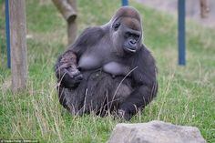 The tiny western lowland gorilla could eventually grow to become 6ft tall and weigh up to 20 stone at adulthood