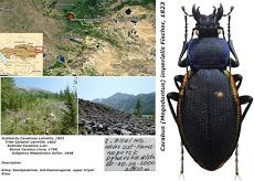 Carabus megodontus imperialis fischer 1823 2 WAS-Archives.org ARCHIVED.jpg