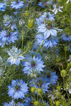 Love-in-a-Mist 'Miss Jekyll Blue' - Nigella damascena seeds - Select Seeds English Flowers, British Flowers, Bachelor Button Flowers, Bachelor Buttons, Flowers Nature, Green Flowers, Garden Seeds, Garden Plants, Blue Plants