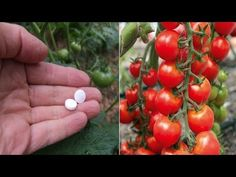 Cum să foloseşti corect aspirina pentru plante sănătoase - YouTube Raised Beds, Permaculture, Youtube, Flowers, Agriculture, Aspirin, Plant, Tomatoes, Balcony
