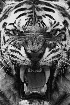 Tiger roaring close up Beautiful Creatures, Animals Beautiful, Animals And Pets, Cute Animals, Scary Animals, Wild Animals, Tiger Roaring, Gato Grande, Tiger Tattoo