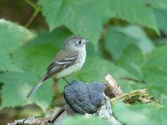 http://faaxaal.forumactif.com/t3713-photo-de-tyrannide-moucherolle-tchebec-empidonax-minimus-least-flycatcher-chebec-chebecker