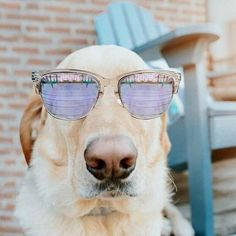 Save the dogs in style with our retro sunglasses! Comes with a free Pawz carrying case! Also says Pawz on side of glasses! Cockapoo Puppies, Yorkie Puppy, Chihuahua, Chow Puppies, Puppy Chow, Cute Funny Animals, Cute Dogs, Awesome Dogs, Collie