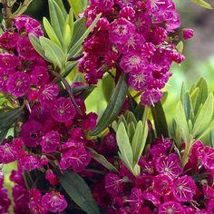Kapealehtikalmia Rubra - Viherpeukalot Spring, Shrubs, Different Colors, Seasons, Garden, Plants, Flowers, Garten, Seasons Of The Year