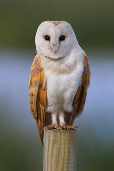 """Barn owl: """"The wise old barn owl is one of the most widespread birds in the world. In Europe and the Americas it is seen as the farmers' friend because it eats so many rodents, yet on tropical islands the barn owl's surperb tracking equipment is having a devastating impact on populations of rare, nesting seabirds."""" 100 Alien Invaders; www.bradtguides.com"""