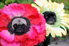 flower pugs - so wrong but i can't look away