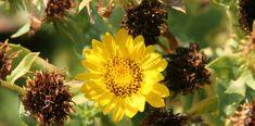 Das Gummikraut (oder auch Grindelia gennant) und seine heilende Wirkung auf die Atmungsorgane Kraut, Plants, Herbal Medicine, Natural Medicine, Health, Plant, Planets