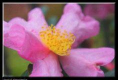 Camellia flower by Giancarlo Gallo