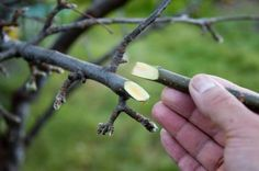 How To Do Fruit Tree Whip Grafting Propagation