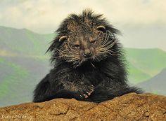 Bear Cat having a bad hair day. Cincinnati Zoo, Small Cat, Cute Little Animals, Primates, Panda Bear, Animal Kingdom, Fur Babies, Beast, Bad Hair