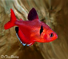 Serpae Tetra for sale