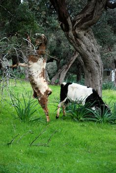 Goats among carobs and olives on the Akamas Peninsula,//Cyprus February 2011 Cyprus Island, Island Nations, Aphrodite, Beautiful Islands, Bald Eagle, Goats, Greece, Places To Visit, Olives