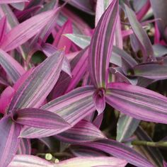 Native to Mexico, wandering Jew (Tradescantia zebrina, also known as Zebrina pendula) grows quickly, displaying trailing stems and green and purple leaves often marked with silvery stripes. A ...
