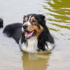 #Farley (aka #Snickers many moons ago.....) relaxes in the somewhat murky pond at #BarkleySquare Dog Park during the #TDL 2017 #Reunion. Thanks to #Gisele and #TheDogLiberator for organizing this event. Farley had a blast! #adopted #loved #HappyEnding #FloridaDogRescue #adoptdontshop #walkadog #CentralFlorida