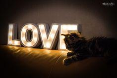 Maine Coon Kitten und Love