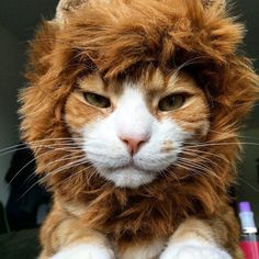 Ferocious Friday?  Rawr. #ScaryTaco #NOT  #TacoLion #Lion #Rawr by @olivertaco automatic cat litter box  cat cats kitty cute catlover catsofinstagram catcam instacat catstagram catsagram lovecats cat product reviews
