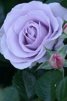 Rose 'Blue Bayou'