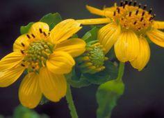 JSPuzzles - puzzles en línea - Yellow Leafcup