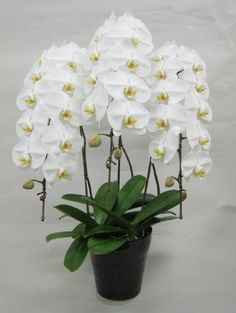 [Visit to Buy] 100 PCS Unique Butterfly Orchid Seeds Balcony Ornamental Plants Bonsai Plant Phalaenopsis Bonsai plant DIY home & garden seeds Orchids Garden, Orchid Plants, Garden Plants, Moth Orchid, Exotic Flowers, Beautiful Flowers, Orchid Seeds, Plantas Bonsai, Dendrobium Orchids