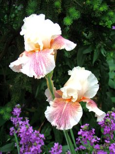 bearded iris , are stunning , come back each year and spread !!
