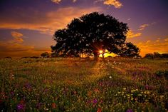 Texas oak trees with a beautiful sunset. I miss this.