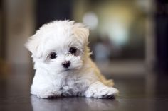 Cute Maltese Puppy...my next dog to get just hard to find.........oooooo so adorable