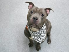 BROLY - A1104742 - - Manhattan  TO BE DESTROYED 03/15/17: ****CAN BE PUBLICLY ADOPTEDA volunteer writes:  Broly is a cute big mouse I wanted to become acquainted with for quite a while. We know very little about him except that he bit his owner over…(my hunch) a toy, food or a treat…Yep, Broly loves his stuff….at a point that he even uneventfully ate a small toy last night. I guess he surely wanted to keep it. Do not worry, Broly is just fine…Broly i