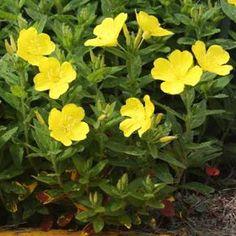 Gyomnövényből gyógyító gyom - Egészségtér Vitamins, Garden, Plants, Garten, Lawn And Garden, Gardens, Plant, Vitamin D, Gardening