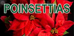 Poinsettias Design 5 - 4' x 8' Perfect for retail stores, small businesses, churches, garden centers and more! Advertise when your holiday poinsettia selections have arrived. Customization on design and size available upon request at no additional charge. Message @SignedandZealed or visit www.signedandzealed.com for more information.