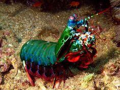 The Mantas Shrimp